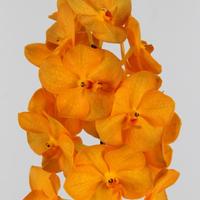 Vanda Princess Orange, carton de 25 bottes