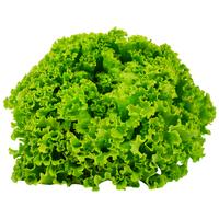 Salade - Batavia - FRA - Rais