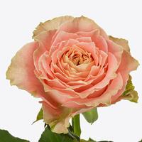 Rose COUNTRY LOUISE, carton de 10 bottes
