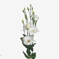 Lisianthius rosi white, carton de 10 bottes
