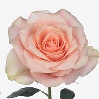 Rose 50 cm so peach, carton de 10 bottes