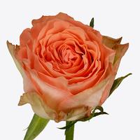 Rose BARBARELLA, carton de 5 bottes
