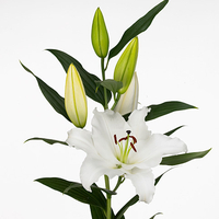 Lilium SIGMUND, carton de 10 bottes