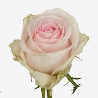 Rose REVIVAL SWEAT, carton de 10 bottes