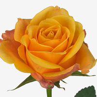 Rose LADY BUTTERFLY, carton de 10 bottes