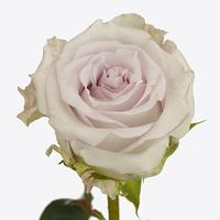Rose SILVER MOON, carton de 10 bottes