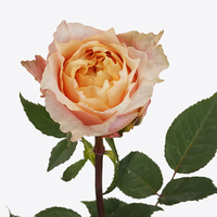 Rose CHARMING LADY, carton de 5 bottes