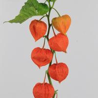 Physalis Orange par Tige 90cm, carton de 50 bottes