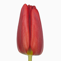 Tulipe TOPROY, carton de 50 bottes