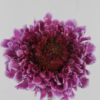 Scabieuse Atro Focal Scoop Bicolor Pink 50cm, carton de 25 bottes