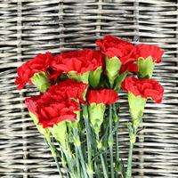 Oeillet st Teinté Majestic Red, carton de 20 bottes