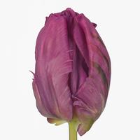 Tulipe PARROT PRINCE, carton de 50 bottes