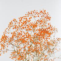 Gyps Teinté Orange 80cm 25g KE, carton de 25 bottes