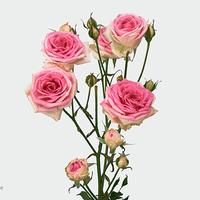Rose MINE EDEN, carton de 10 bottes