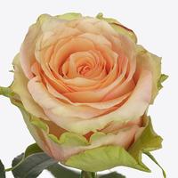 Rose RAINBOW PEACH, carton de 10 bottes