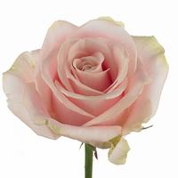 Rose 50 cm sweat avalanche, carton de 10 bottes