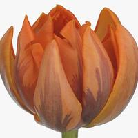 Tulipe ORANGE PRINCESS, carton de 50 bottes