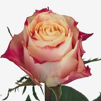 Rose CHAPEAU, carton de 10 bottes