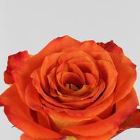 Rose gb Silantoi 50cm, carton de 10 bottes
