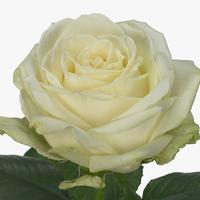 Rose AVALANCHE MEIJER 80cm, carton de 10 bottes