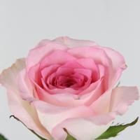 Rose gb Mandala 60cm, carton de 10 bottes