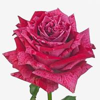 Rose CRAZY EYE, carton de 10 bottes