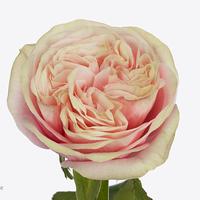 Rose SWAN GRACE, carton de 10 bottes