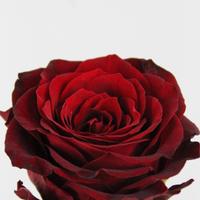Rose gb Ever Red 60cm, carton de 10 bottes