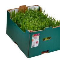 Wheat Grass Hollande, Colis De 16 Barquettes