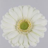 Germini Albino 50cm, carton de 20 bottes