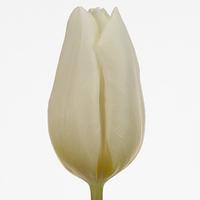 Tulipe WHITE PRINCE, carton de 50 bottes