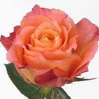 Rose FREE SPIRIT, carton de 10 bottes
