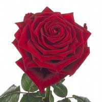 Rose RED NAOMI, carton de 10 bottes