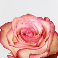 Rose gb Paloma 50cm, carton de 10 bottes