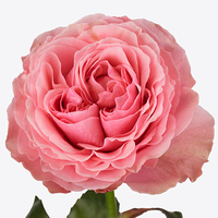 Rose VICTORIAN KISS, carton de 10 bottes