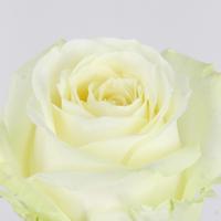 Rose gb Avalanche 50cm, carton de 10 bottes