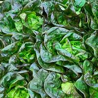 Salade rougette catégorie 1, colis de 12 pièces