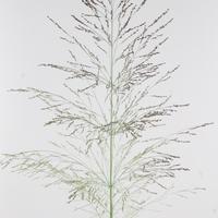 Panicum Virgatum Dallas Blues 140cm, carton de 50 bottes