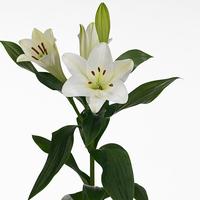 Lilium SELENE, carton de 10 bottes