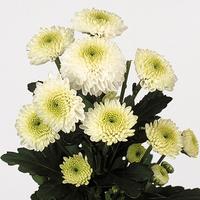 Chrysanthème SANTINI FERRY, carton de 25 bottes