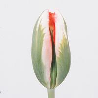Tulipe ESPERANTO, carton de 50 bottes