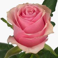 Rose 50 cm celebe, carton de 10 bottes