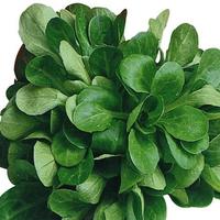 Salade mâche bio, colis de 1 kg