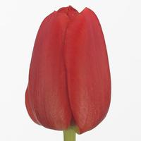 Tulipe MERAPI, carton de 50 bottes