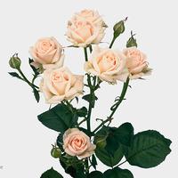 Rose branchue jana 50 cm, carton de 10 bottes