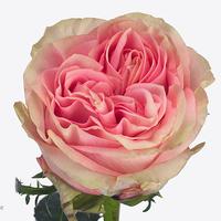 Rose SWEET SURRENDER, carton de 10 bottes