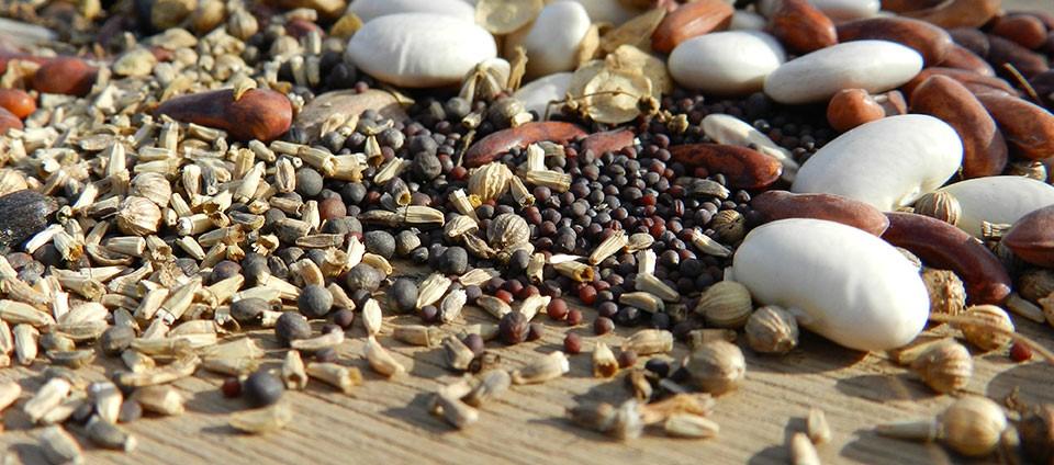 Graines potagères et graines biologiques