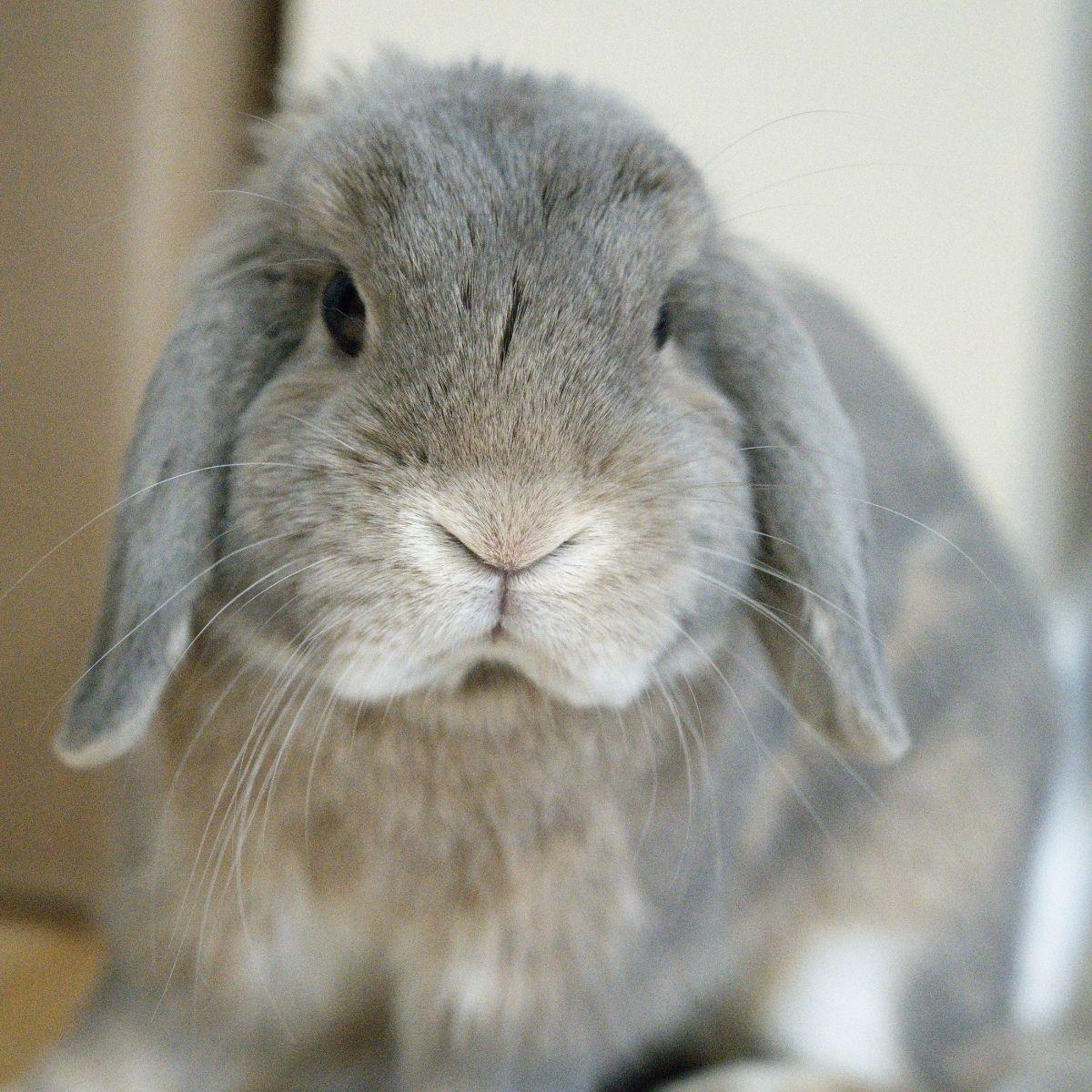 Vaccination des lapins : couplage myxo et VHD