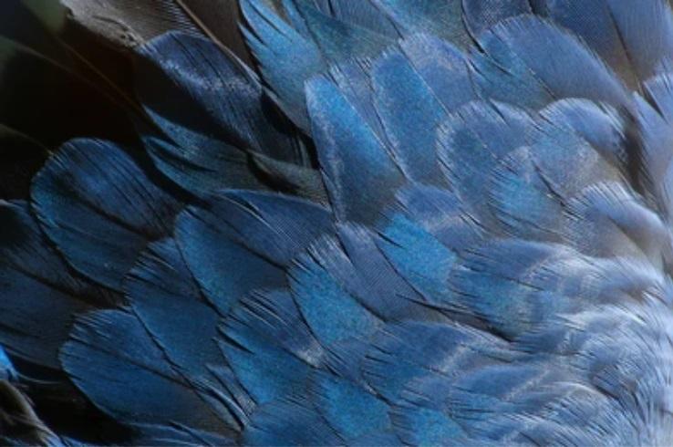 plume bleu canard