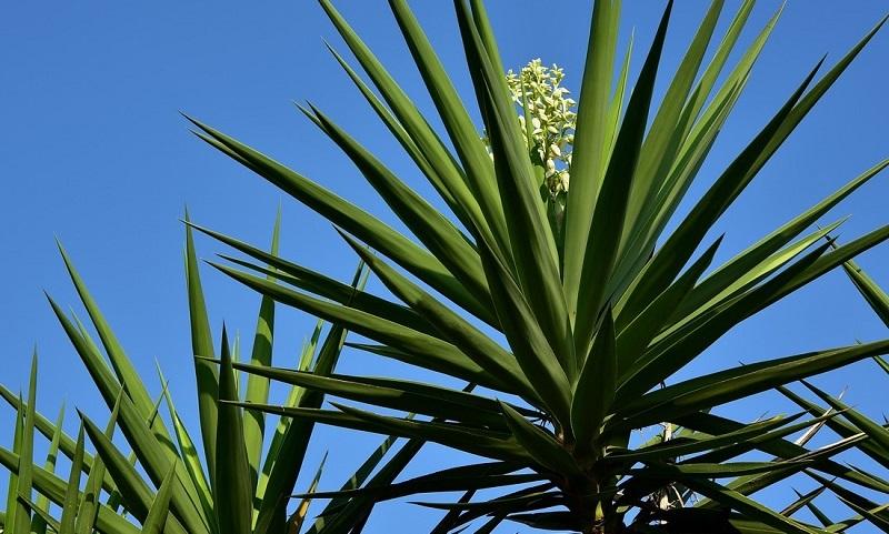 plante yucca